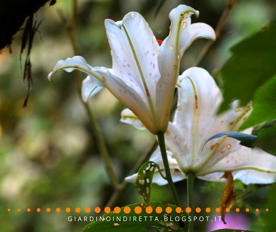 Fiori di luglio lilium muscadet un giardino in diretta for Fiori in giardino