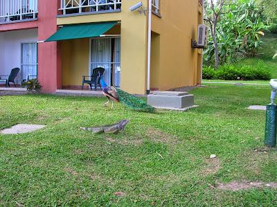 Iguana, pavo real,  Hotel Royal Decameron Resort Panamá, round the world, La vuelta al mundo de Asun y Ricardo, mundoporlibre.com