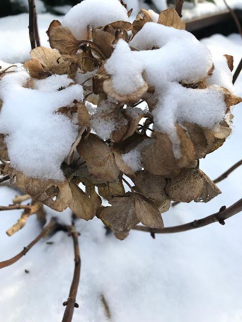 Schnee im Garten Hortensien im Winter
