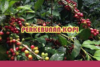 Panduan Lengkap Bisnis Perkebunan Kopi di Indonesia