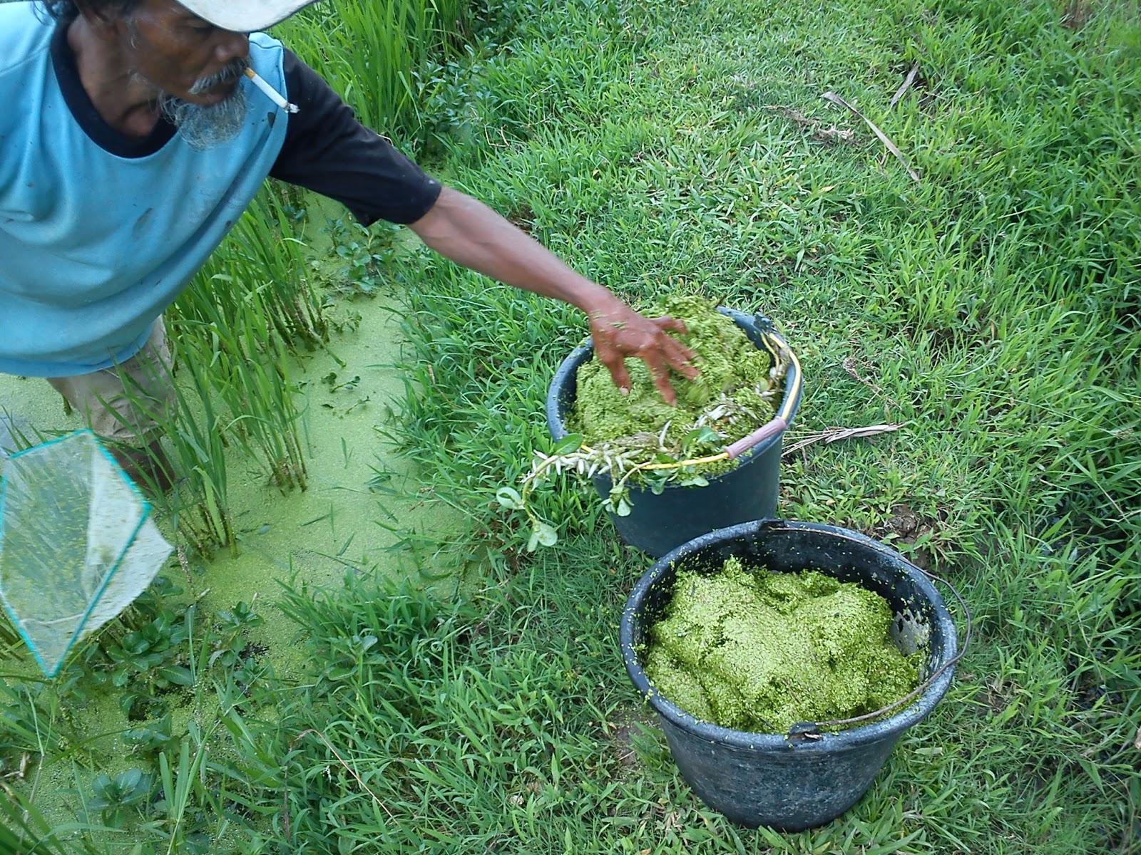 Pakan Gurame murah | Saraswati Update