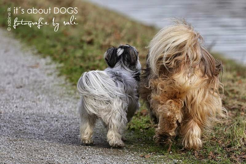 Biewer Yorkshire Terrier Lotta und Tibet Terrier Chiru unterwegs am Kanal