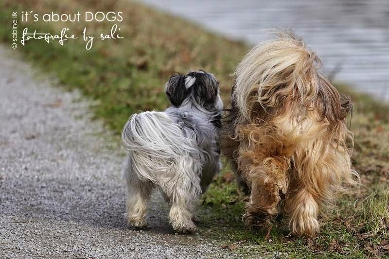 Biewer Yorkshire Terrier Lotta und Tibet Terrier Chiru unterwegs am Kanal