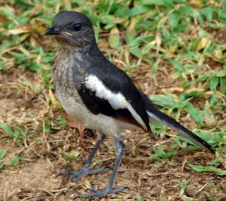 tips membuat burung kacer jinak dan kenal dengan tuannya