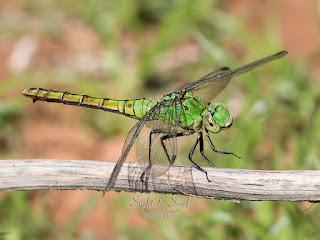 Male Western Pondhawk Dragonfly (Erythemis collocata)