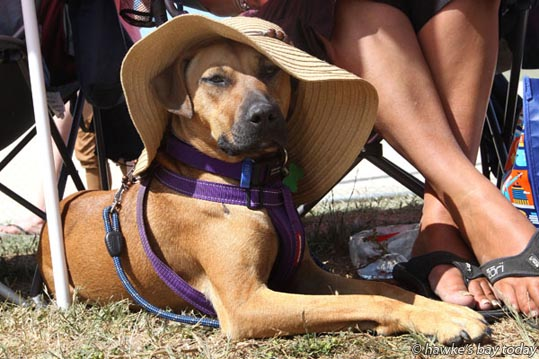 Mila Woon (female) wore a sunhat in hot sunny weather while watching her owner Bradley Woon play for Hawke's Bay in the final against Auckland at the National under-19 softball tournament at Akina Park, Hastings. Mila, 8 months, was a rescue dog from the Hastings and Districts SPCA. photograph