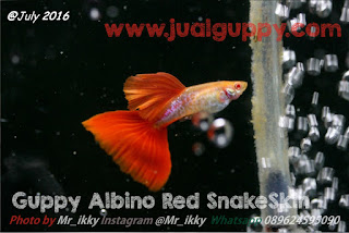 Jual Guppy Red Cobra,  Harga Guppy Red Cobra,  Toko Guppy Red Cobra,  Diskon Guppy Red Cobra,  Beli Guppy Red Cobra,  Review Guppy Red Cobra,  Promo Guppy Red Cobra,  Spesifikasi Guppy Red Cobra,  Guppy Red Cobra Murah,  Guppy Red Cobra Asli,  Guppy Red Cobra Original,  Guppy Red Cobra Jakarta,  Jenis Guppy Red Cobra,  Budidaya Guppy Red Cobra,  Peternak Guppy Red Cobra,  Cara Merawat Guppy Red Cobra,  Tips Merawat Guppy Red Cobra,  Bagaimana cara merawat Guppy Red Cobra,  Bagaimana mengobati Guppy Red Cobra,  Ciri-Ciri Hamil Guppy Red Cobra,  Kandang Guppy Red Cobra,  Ternak Guppy Red Cobra,  Makanan Guppy Red Cobra,  Guppy Red Cobra Termahal,  Adopsi Guppy Red Cobra,  Jual Cepat Guppy Red Cobra,  Kreatif Guppy Red Cobra,  Desain Guppy Red Cobra,  Order Guppy Red Cobra,  Kado Guppy Red Cobra,  Cara Buat Guppy Red Cobra,  Pesan Guppy Red Cobra,  Wisuda Guppy Red Cobra,  Ultah Guppy Red Cobra,  Nikah Guppy Red Cobra,  Wedding Guppy Red Cobra,  Flanel Guppy Red Cobra,  Special Guppy Red Cobra,  Suprise Guppy Red Cobra,  Anniversary Guppy Red Cobra,  Moment Guppy Red Cobra,  Istimewa  Guppy Red Cobra,  Kasih Sayang  Guppy Red Cobra,  Valentine  Guppy Red Cobra,  Tersayang Guppy Red Cobra,  Unik Guppy Red Cobra,
