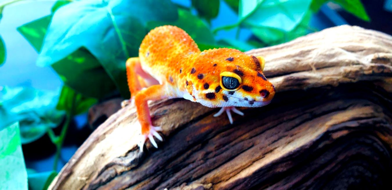 Leopard Gecko Morphs For Sale | Wallpapers Nature