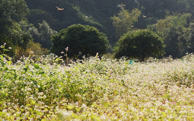 Ninh Binh brightened with buckwheat flowers blooming 2