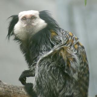 Ouistiti de Geoffroy - Ouistiti à face blanche - Callithrix geoffroyi