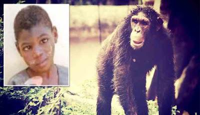 Bello, bocah yang dibesarkan simpanse