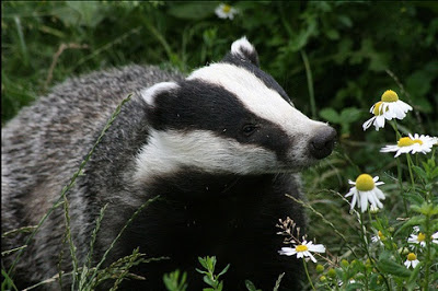 Badger sniffing some daisies