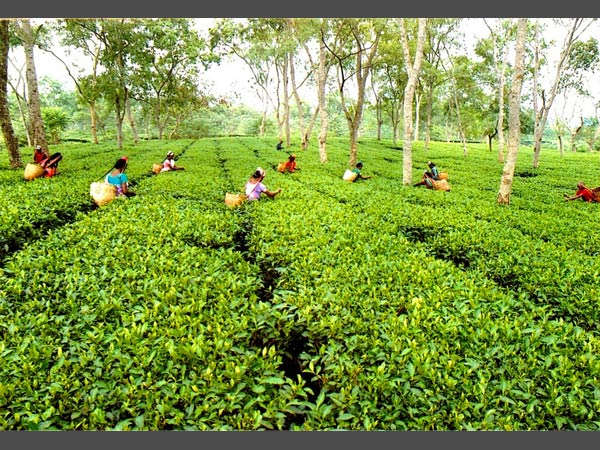 Tea garden in plains