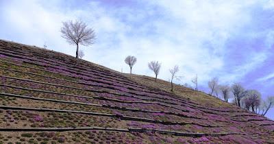 滝上の芝桜はもう少しで見ごろ