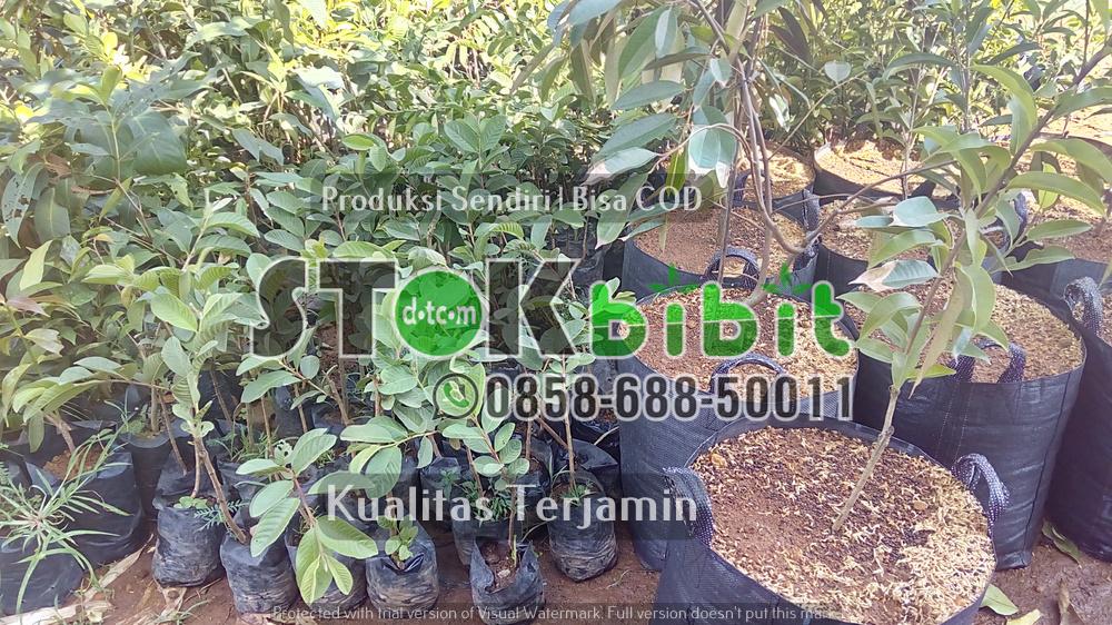Bibit Durian Bawor      Lengkap       Lengkap