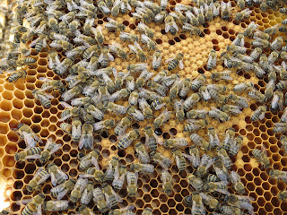 honey bee worker brood