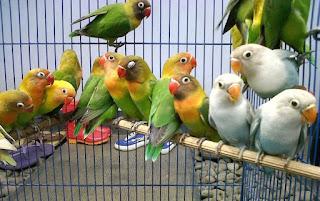 Cara-Ternak-Lovebird-Agar-Cepat-Bertelur