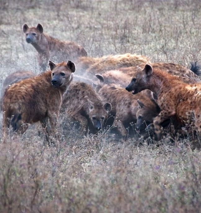 Picture of hyenas fighting for food