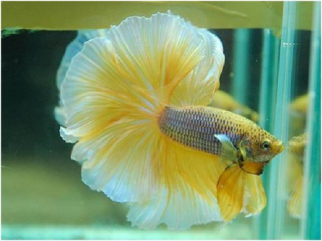 Gambar Ikan Hias Cantik – Ikan Cupang