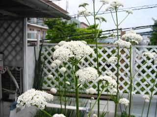 バレリアン(西洋鹿子草)の花