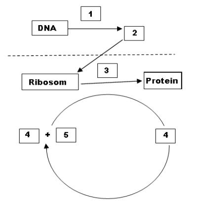 Soal un substansi genetika dan pembahasan mahkota sains perhatikan skema sintesis protein ccuart Image collections