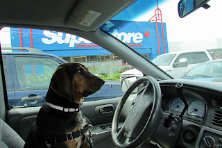 Driving Coonhound