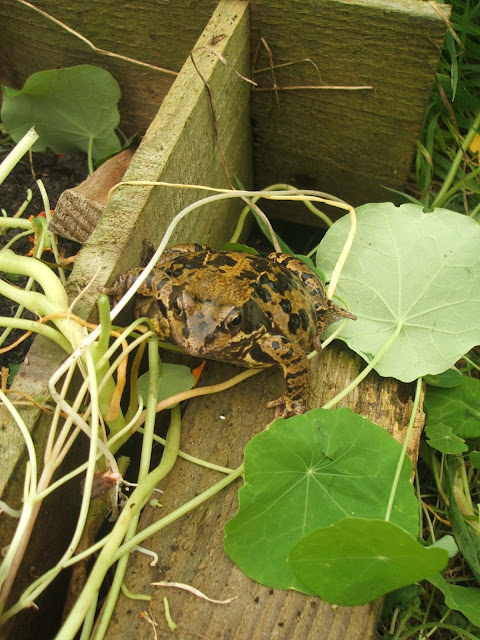 large frog hiding by raised bed on our allotment