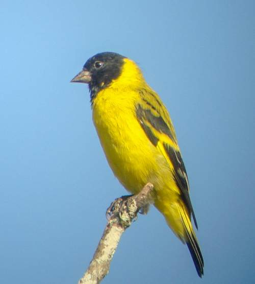 Bird World - Image of Olivaceous siskin - Spinus olivaceus