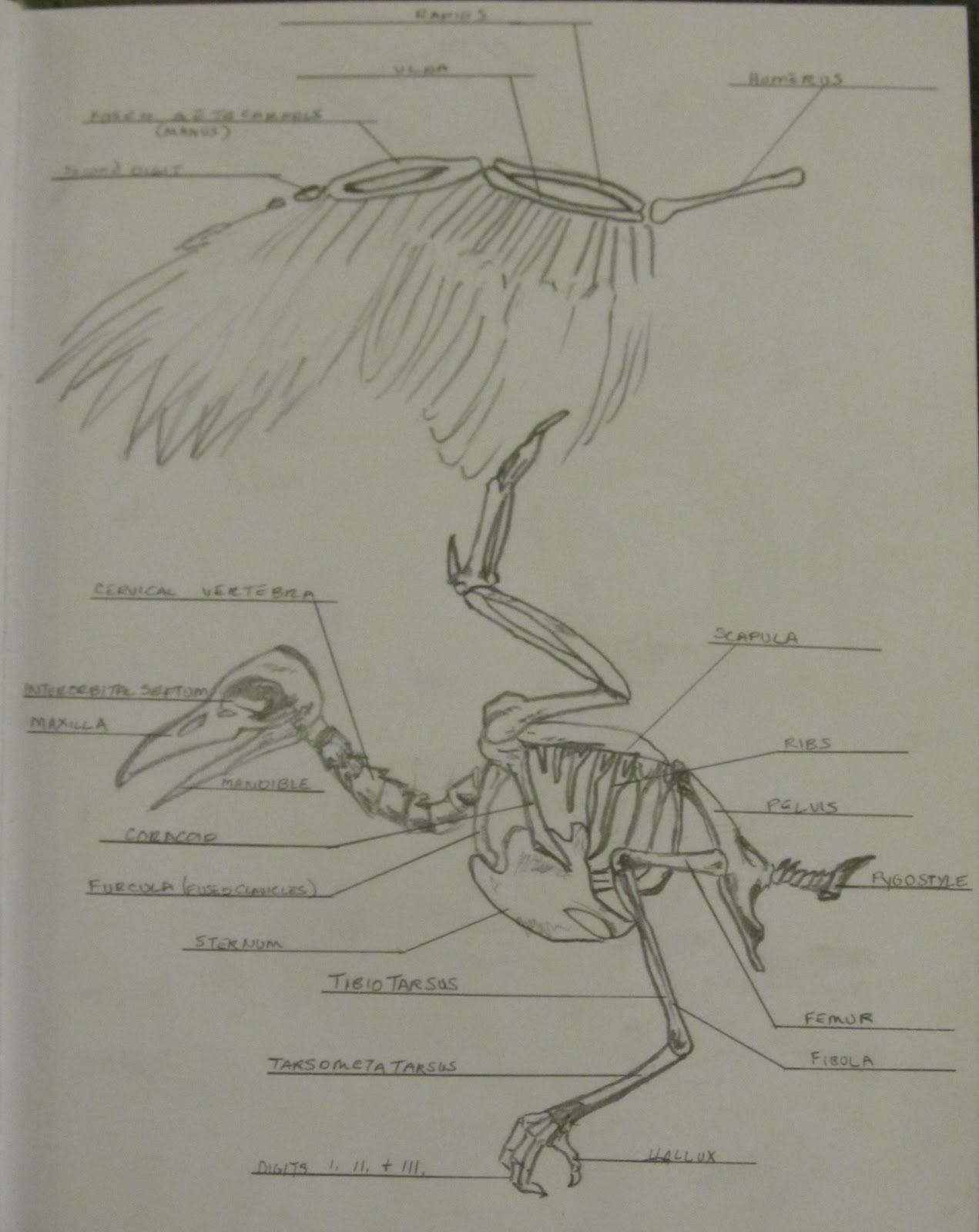 human skeleton leg drawing