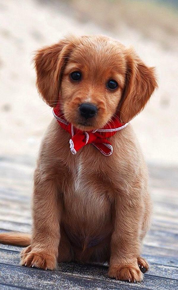 Cute Baby Golden retriever puppy So Sweet face
