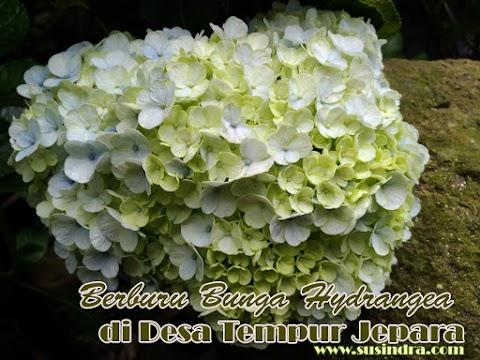 Berburu Bunga Hydrangea di Desa Tempur Jepara