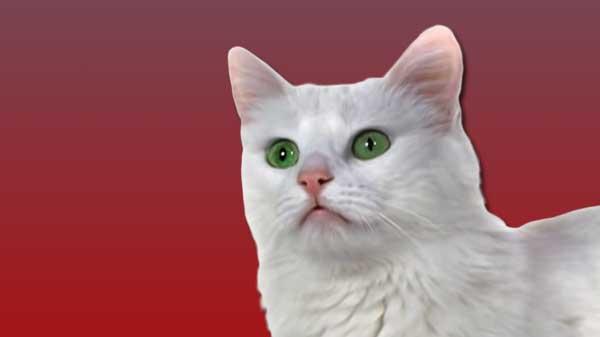 Turkish Angora cat, cat breeds