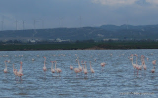 flamingoes on the Larnaka Salt Lake, January 2018