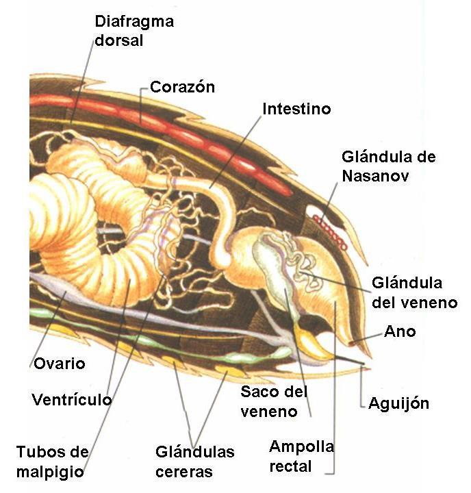 Dorable Anatomía Vaginal Interna Foto - Imágenes de Anatomía Humana ...