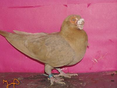 barb pigeons