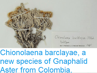 http://sciencythoughts.blogspot.co.uk/2015/05/chionolaenabarclayae-new-species-of.html