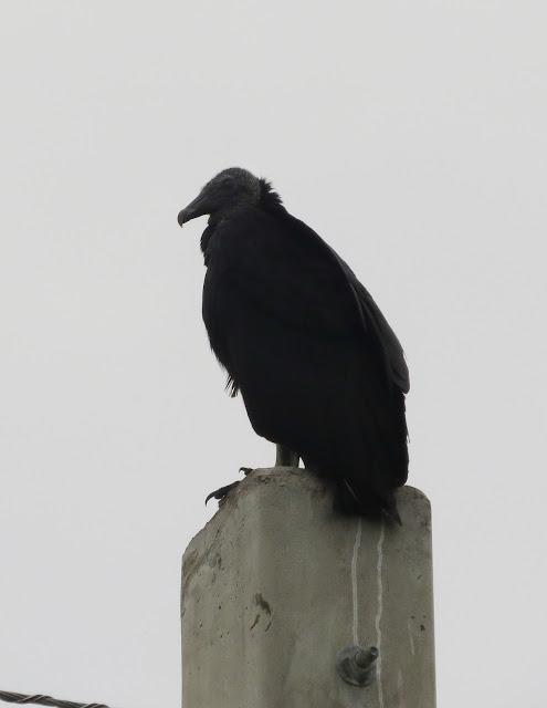 American Black Vulture - Florida