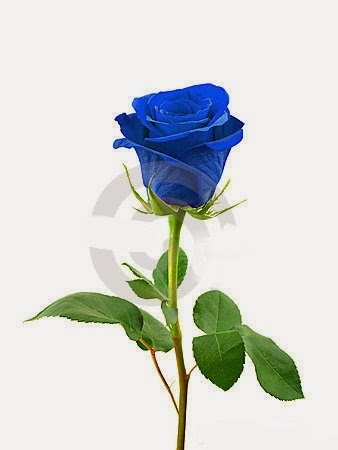 blue roses pichttp