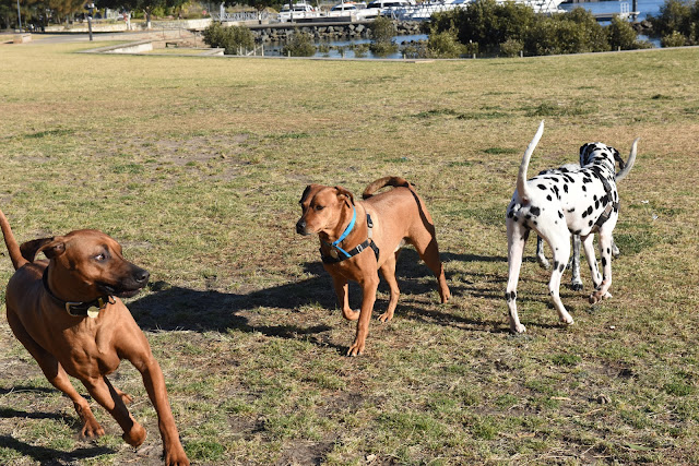 ridgebacks, dogs, playing