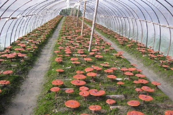 Nấm linh chi ngày nay được trồng với quy mô lớn