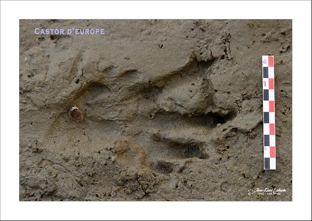 traces-bords-de-loire-castor