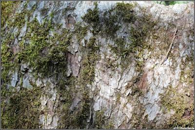 Corteza y musgo en un tronco de tilo