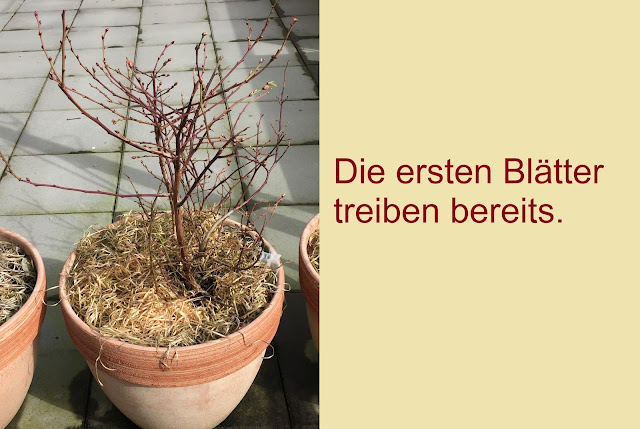 Heidelbeer im Frühling