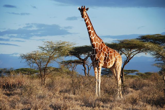 Genetic analysis uncovers four species of giraffe, not just one