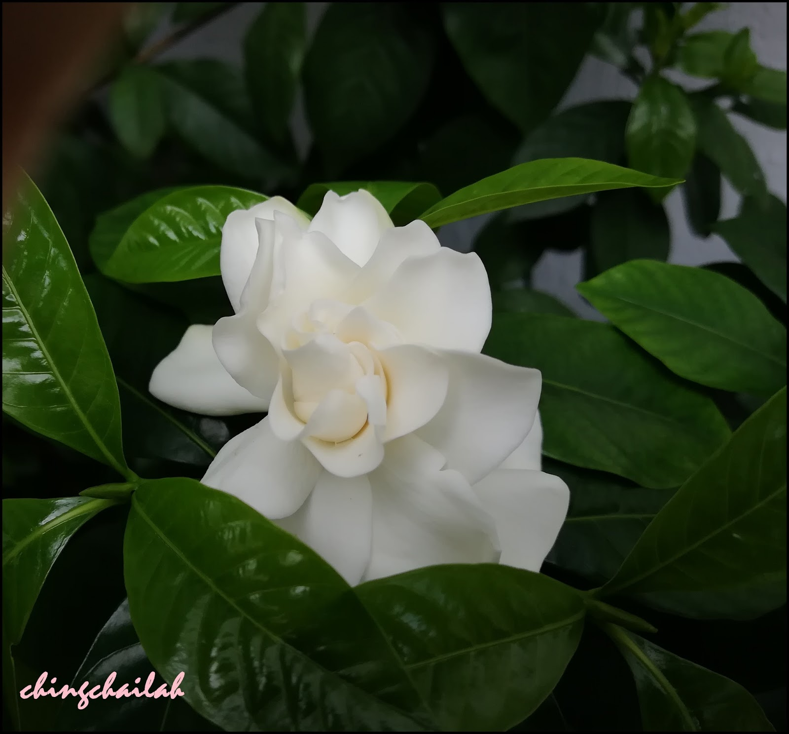 Simple Living In Nancy Fragrant Creamy White Gardenia Flowers From