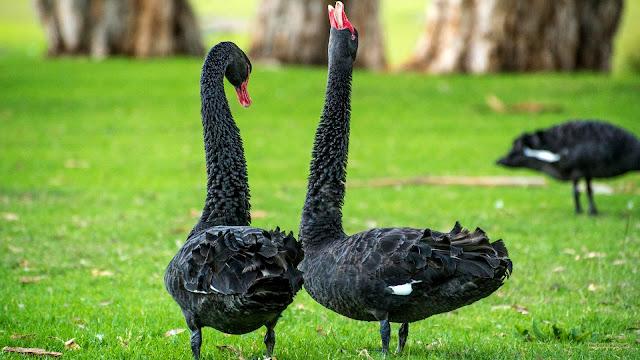 Zwarte zwanen in het gras