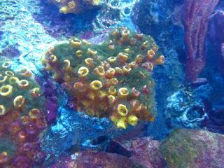 Anémones de mer et coraux - Massif corallien