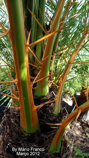 Espinhos da Palmeira-fenix