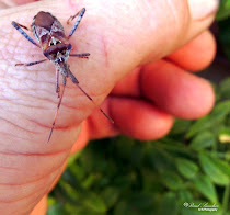 Chinche (Leptoglossus occidentalis)