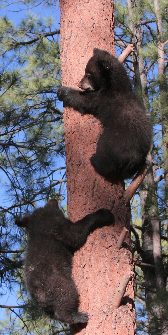 Young bears climbing a tree.